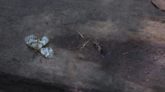 Ants Carry Dead butterfly in the jungle Stock Footage