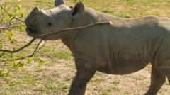 ADORABLE Baby Rhino Playing Endangered Rhinoceros Stock Footage