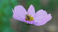 Bee on cosmos flower - stock footage