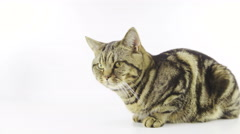 British breed tabby kitten in isolated white studio 4K Stock Footage