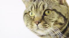 Cat head portrait shot on white 4K Stock Footage