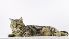 British breed kitten lying on white background posing 4K Stock Footage