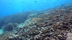 Huge field of lettuce coral - stock footage