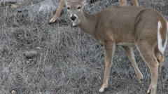 Deer Foraging for Food Stock Footage