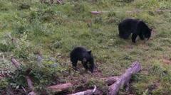 Black bear 33 Canada Stock Footage