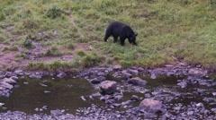 Black bear 35 Canada Stock Footage