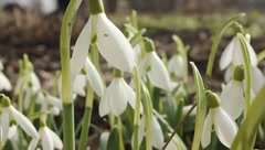 Snowdrop - first flower of spring Stock Footage