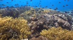 Hard and soft coral reef full of tropical fishes, drifting with current - stock footage