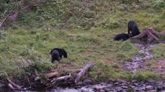 Black bear 36 Canada Stock Footage