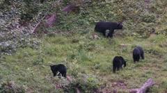 Black bear 32. Canada Stock Footage