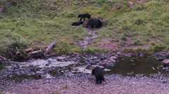 Black bear 39 Canada Stock Footage