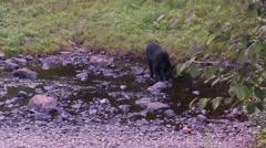 Black bear 37 Canada Stock Footage