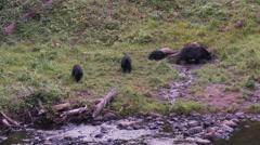 Black bear 41 Canada Stock Footage