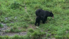 Black bear 45 Canada Stock Footage
