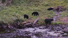 Black bear 43 Canada Stock Footage