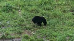Black bear 46 Canada Stock Footage