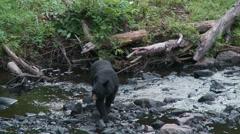 Black bear 48 Canada Stock Footage