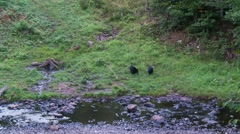 black bear 50 Canada - stock footage