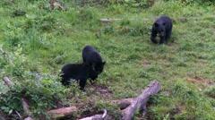 Black bear 1. Canada Stock Footage