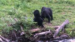 Black bear 3 Canada Stock Footage