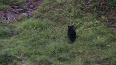 Black bear 51 Canada Stock Footage