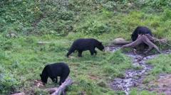 Black bear 9 Canada Stock Footage