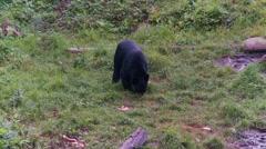 Black bear 14. Canada Stock Footage