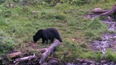 Black bear 17. Canada Stock Footage