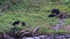 Black bear 5-Canada Stock Footage