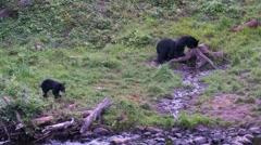 Black bear 18 Canada Stock Footage