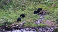 Black bear 21. Canada Stock Footage