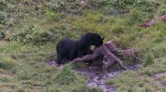 Black bear 25 Canada Stock Footage