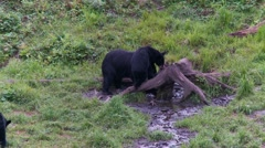 Black bear 19. Canada Stock Footage