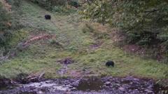 Black bear 24 Canada Stock Footage