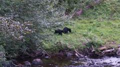 Black bear 23. Canada Stock Footage
