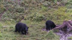 Black bear 27 Canada Stock Footage