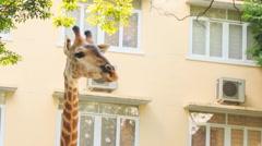Giraffe Eats Peacefully Tree Leaves in City Stock Footage