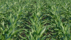 Agriculture, corn plant in field zoom out video Stock Footage