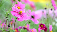 Colorful cosmos flowers in the autumn breeze. Stock Footage