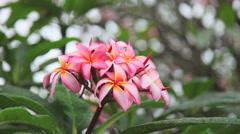 Plumeria rubra is a deciduous plant species belonging to the genus Plumeria. - stock footage
