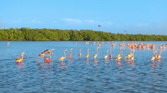 Red flamingos walking flying on sea surface Stock Footage