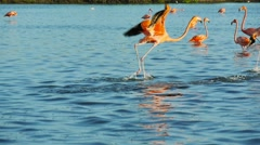 Red flamingos walking on water surface slow motion Stock Footage
