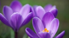 Purple snowdrop macro shot. Slow motion. Stock Footage