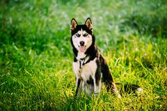 Young Happy Husky Eskimo Dog Sitting In Grass Park Stock Photos