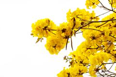 Ellow tabebuia flower blossom on white background Stock Photos