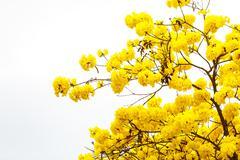 ellow tabebuia flower blossom on white background - stock photo