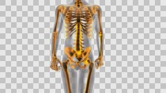 Rendered in PNG with ALPHA human bones radiographic scan. medical footage Stock Footage