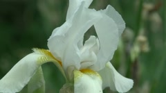 A white iris plant in garden bloom in spring Stock Footage