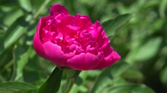 Beautiful pink peony - stock footage