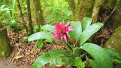 Pink flower of Aechmea fasciata in the forest of Costa Rica Stock Footage